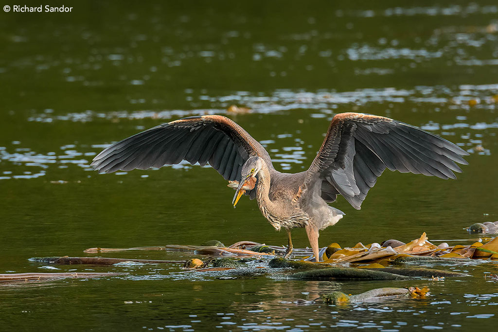 Great Blue Heron with Catch by Richard Sandor