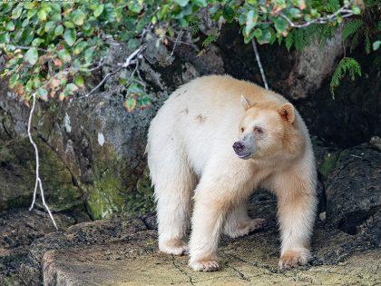 New Photos: Great Bear Rainforest 2019