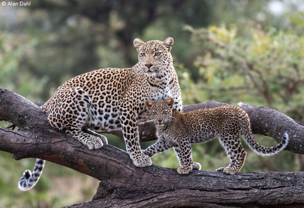 Leopard and Cub by Alan Dahl