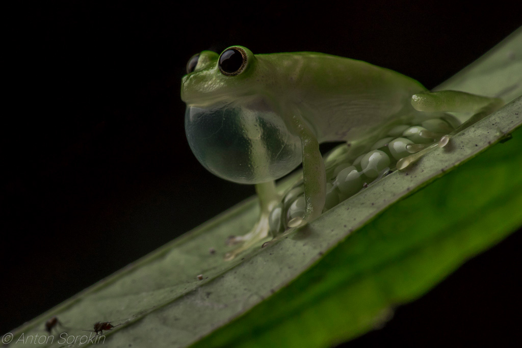 glass frog by Anton Sorokin