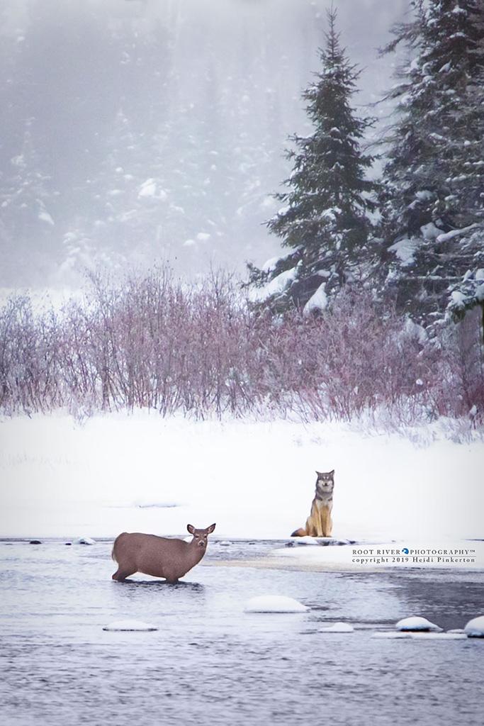 Wolf and deer by Heidi Pinkerton