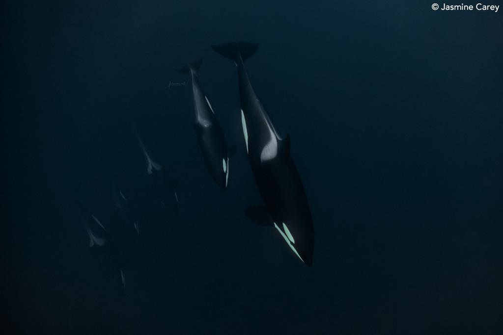 Orca pod by Jasmine Carey