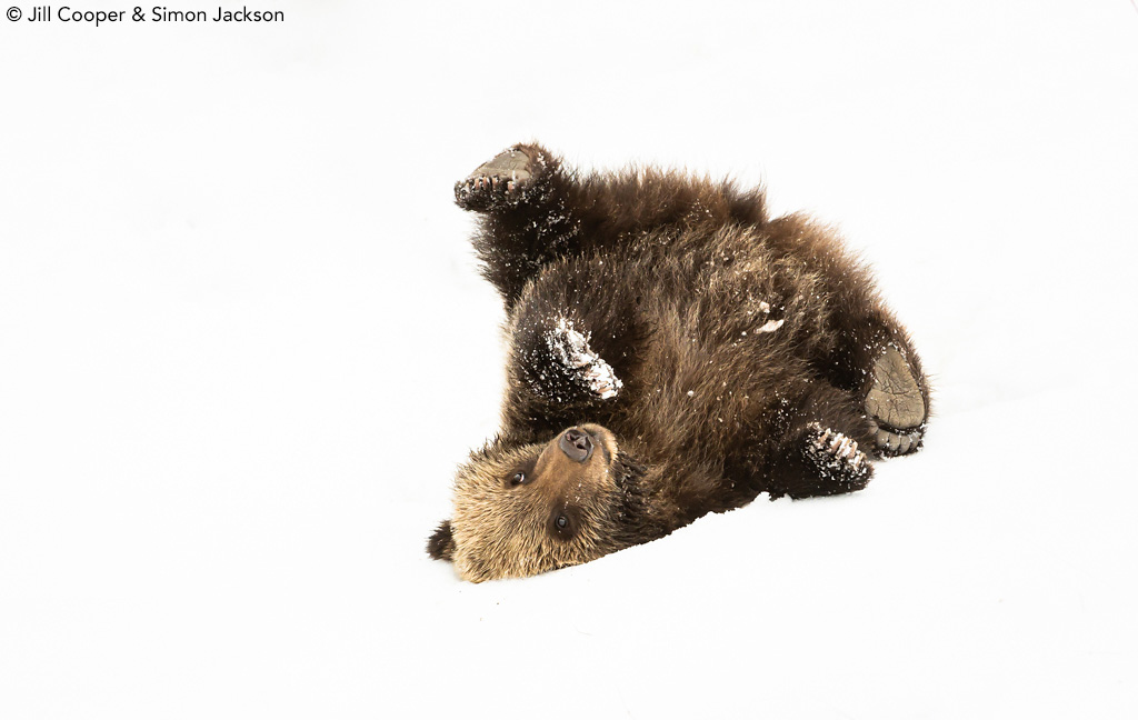 Grizzly bear cub in snow by Jill Cooper and Simon Jackson