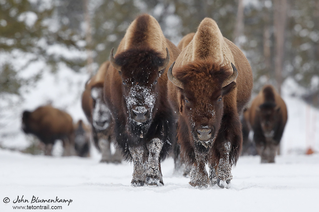 American Bison by John Blumenkamp