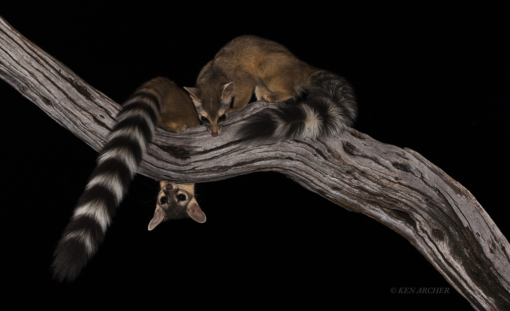 Ringtail Cats by Ken Archer