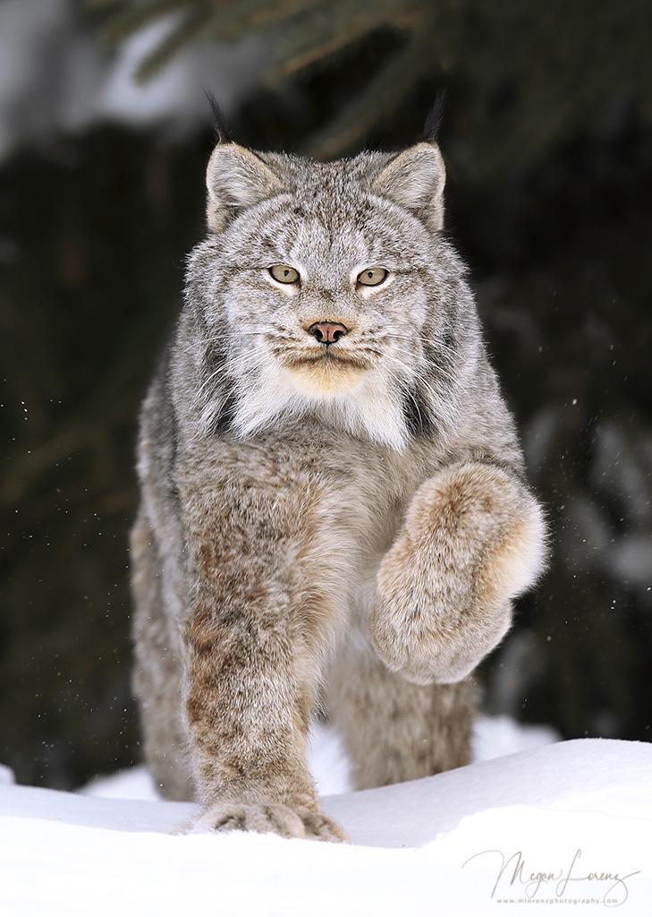 Canada Lynx by Megan Lorenz