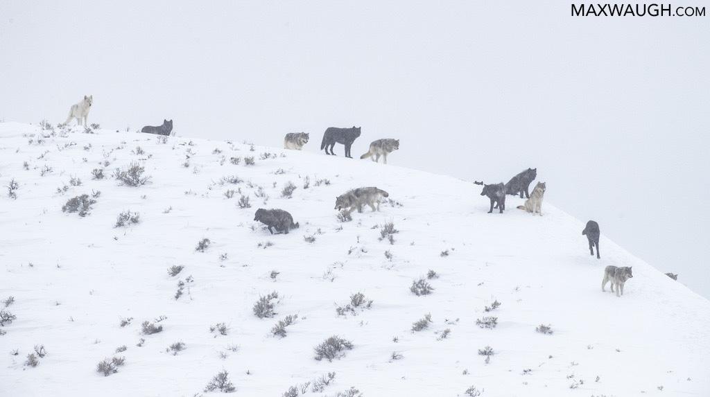 Wapiti wolf pack