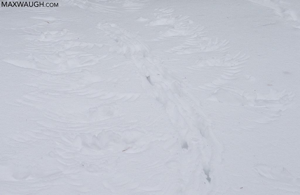Raven tracks