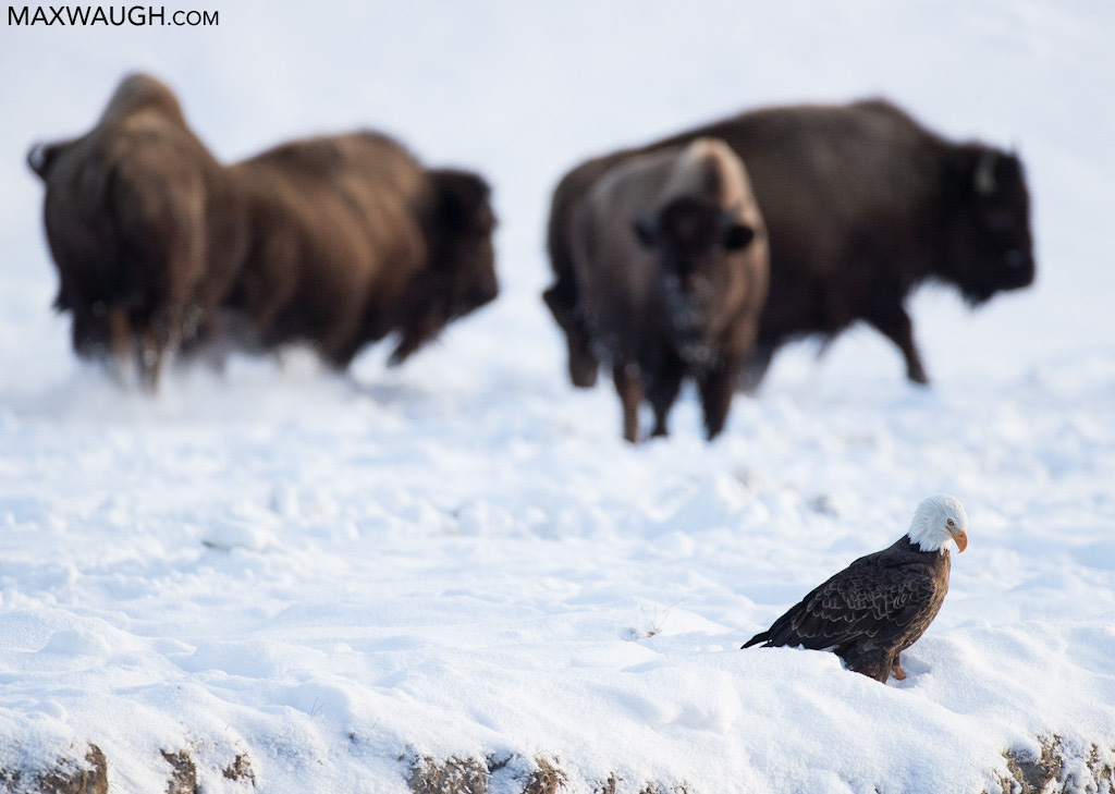 Bald eagle and bison
