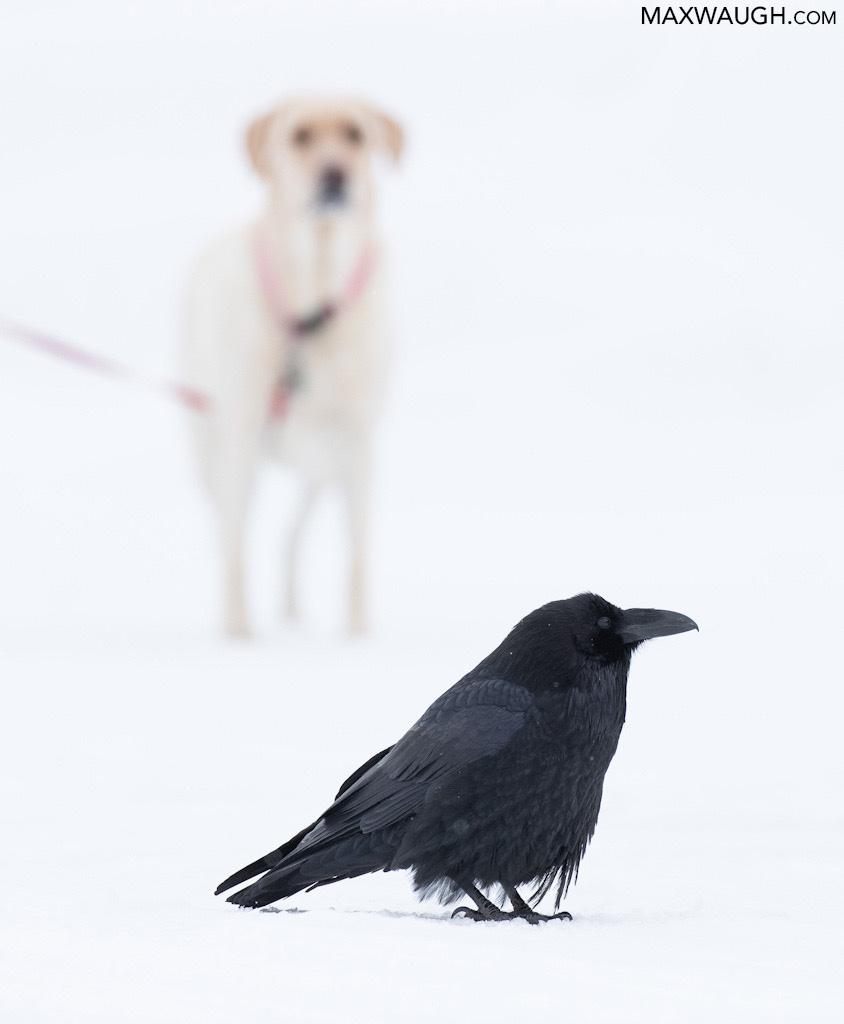 Raven and Dog