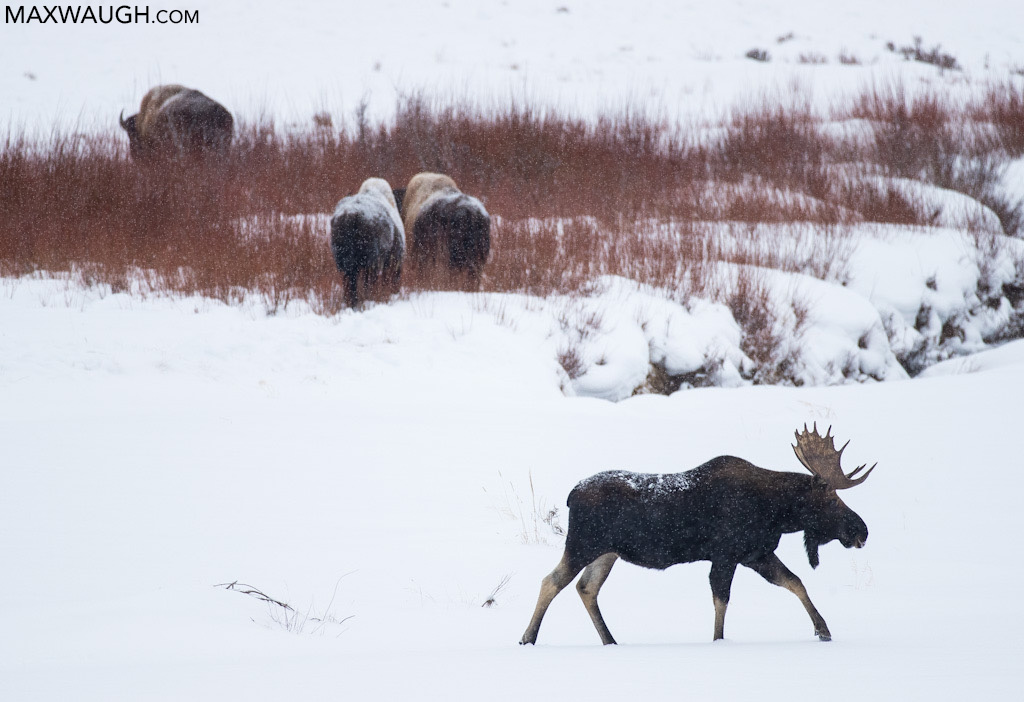 Bull moose and bison