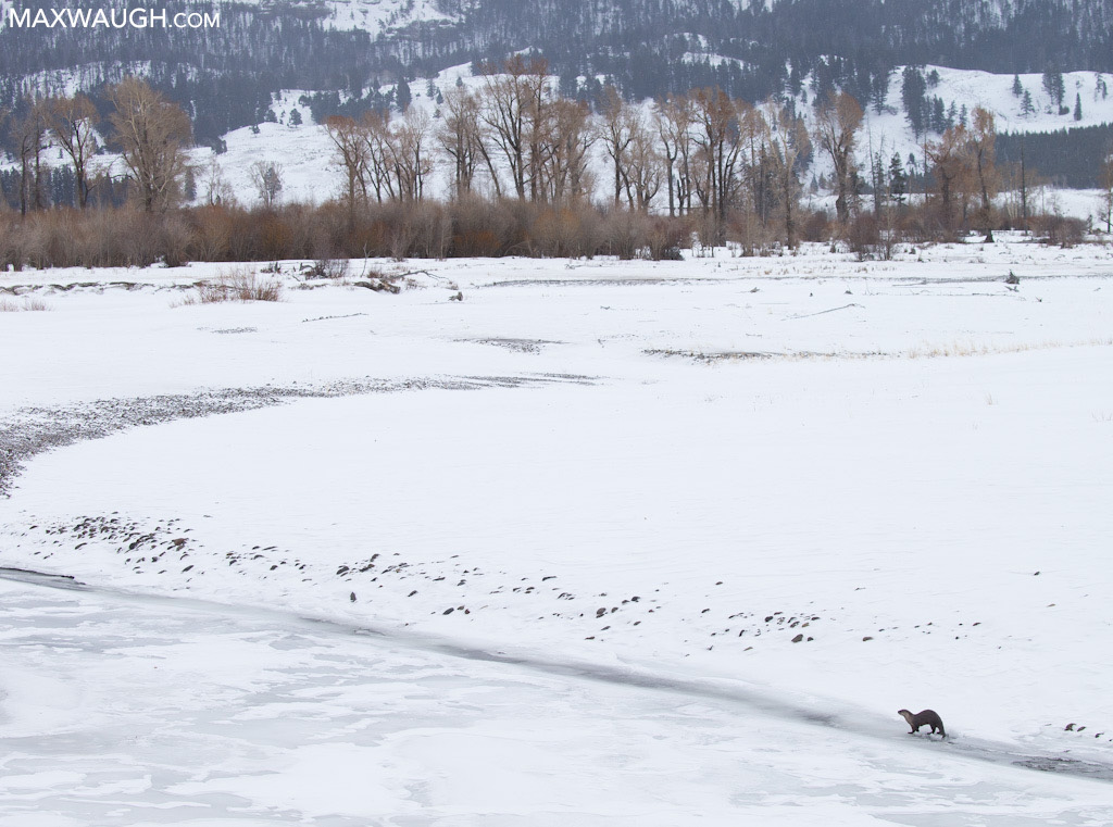 Otter in the Lamar Valley