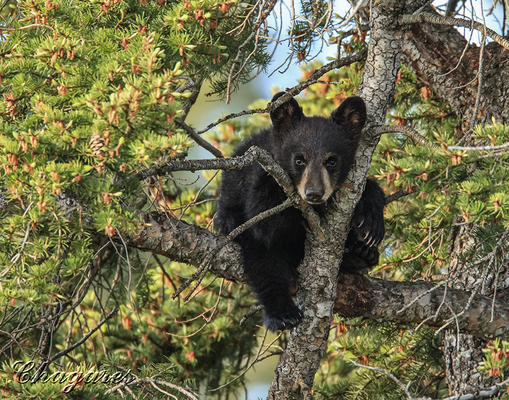 Black bear by Jim Chagares