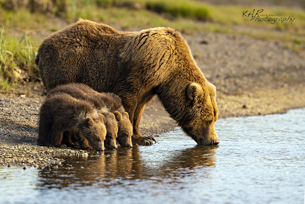 Brown bears by Kate and Adam Rice