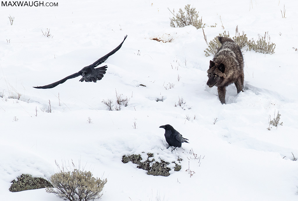 Gray Wolf and Ravens