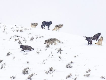 New Video: Yellowstone's Winter Wolves