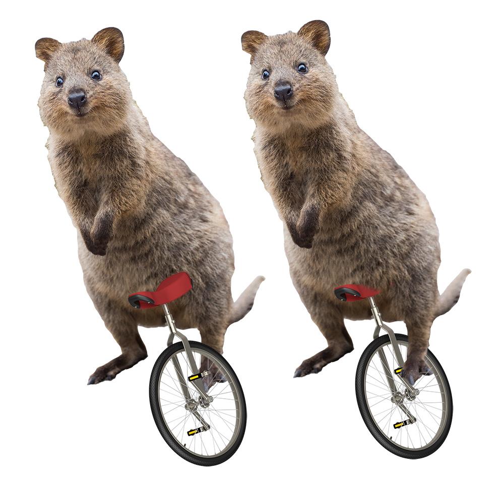 Quokka on a Unicycle