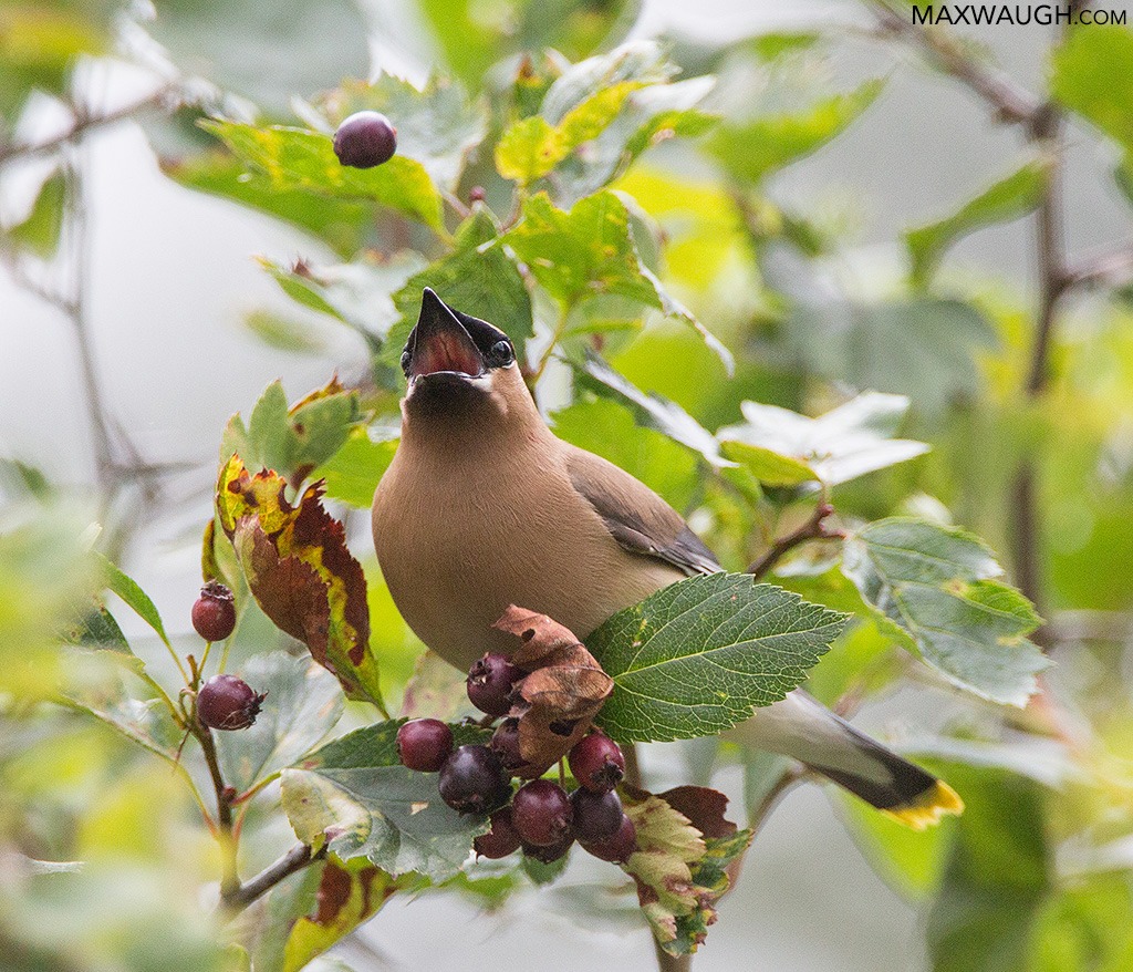 Cedar Waxwing Berry Toss
