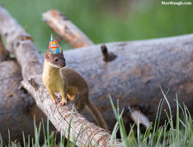 Weasel in a party hat