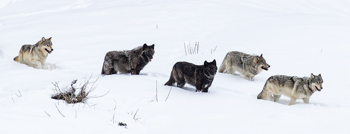 Yellowstone Winter 2020 Wolves photos