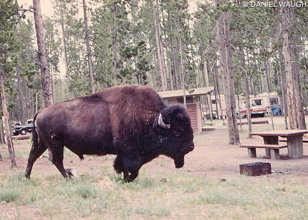 American bison by Dan Waugh