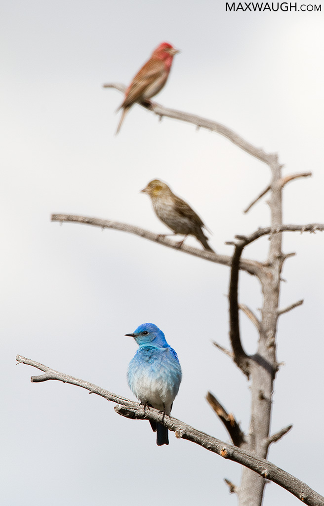 Mountain Bluebird and Cassin's Finches