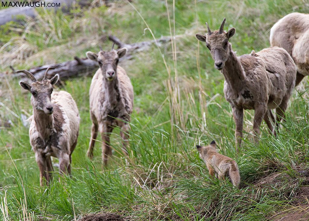 Fox kit and bighorn sheep