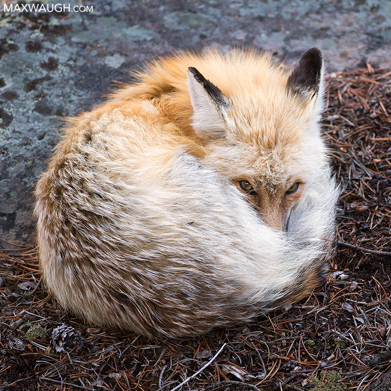 Curled red fox