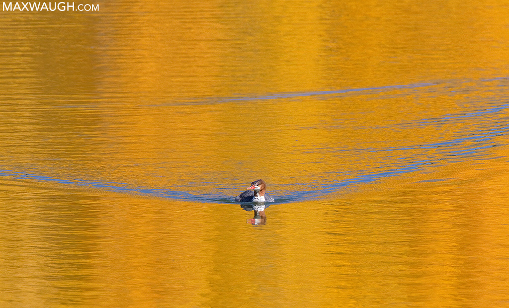 Common Merganser in autumn colors