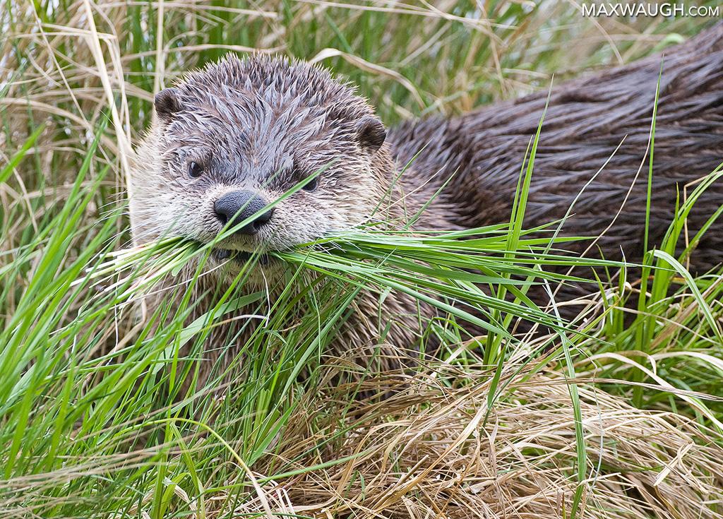 Otter tearing grass