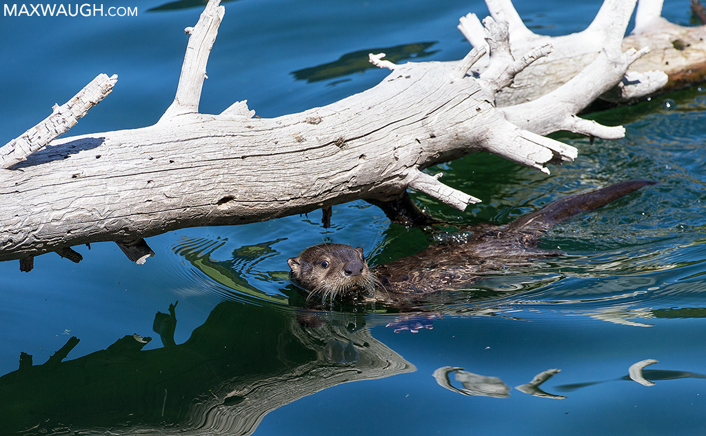 River otter pup