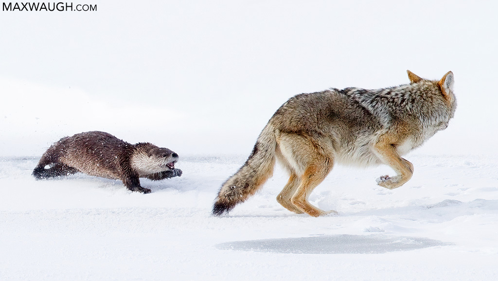 Otter vs. Coyote