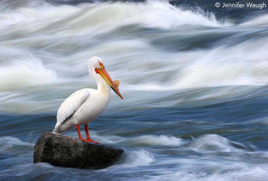 American white pelican by Jennifer Waugh