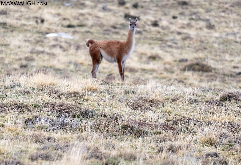 Puma stalking guanaco