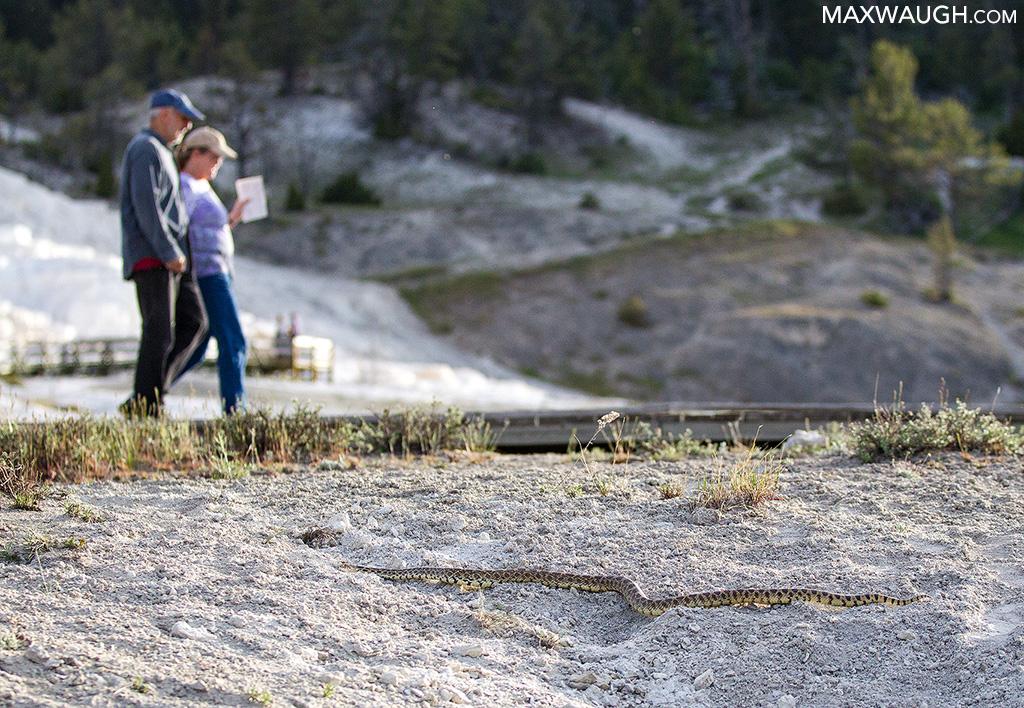 Bull Snake at Mammoth Hot Springs