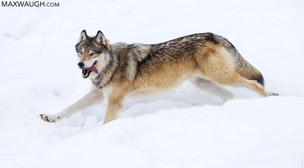 Wolf 778M