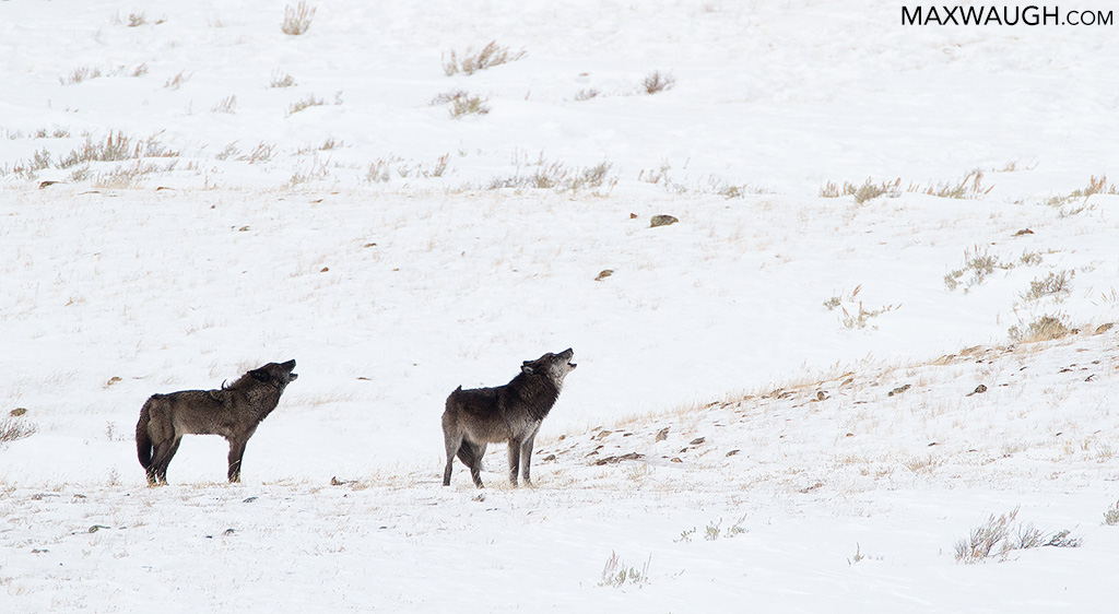 Blacktail Wolves