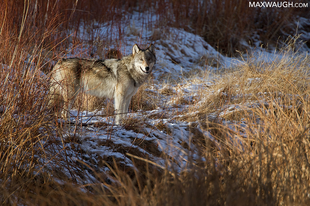 Canyon Pack gray wolf