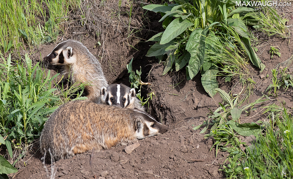 American badger family