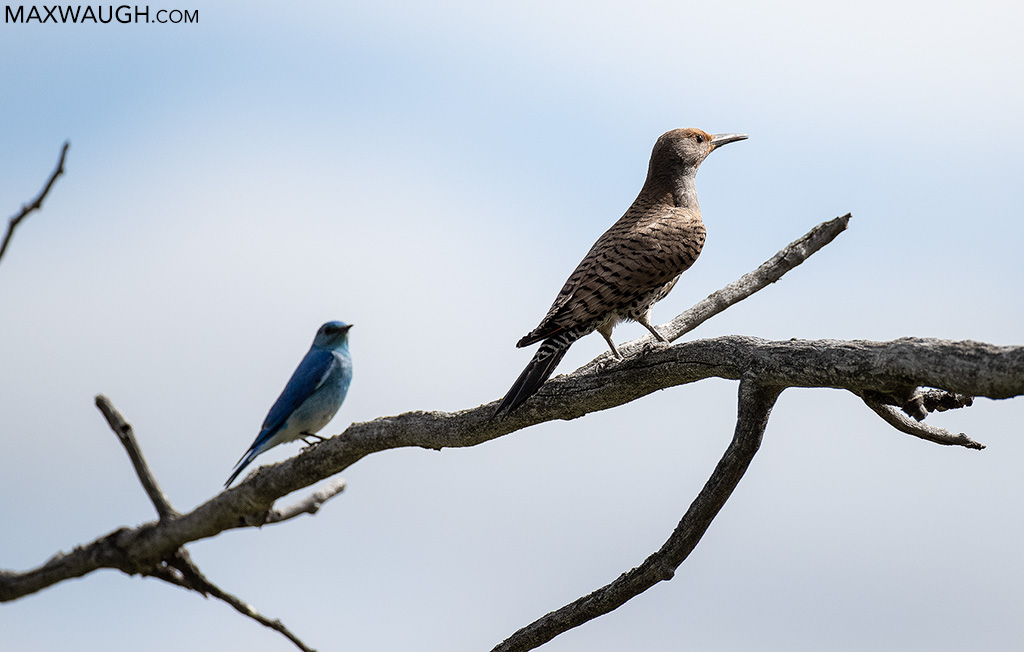 Northern Flicker and Mountain Bluebird
