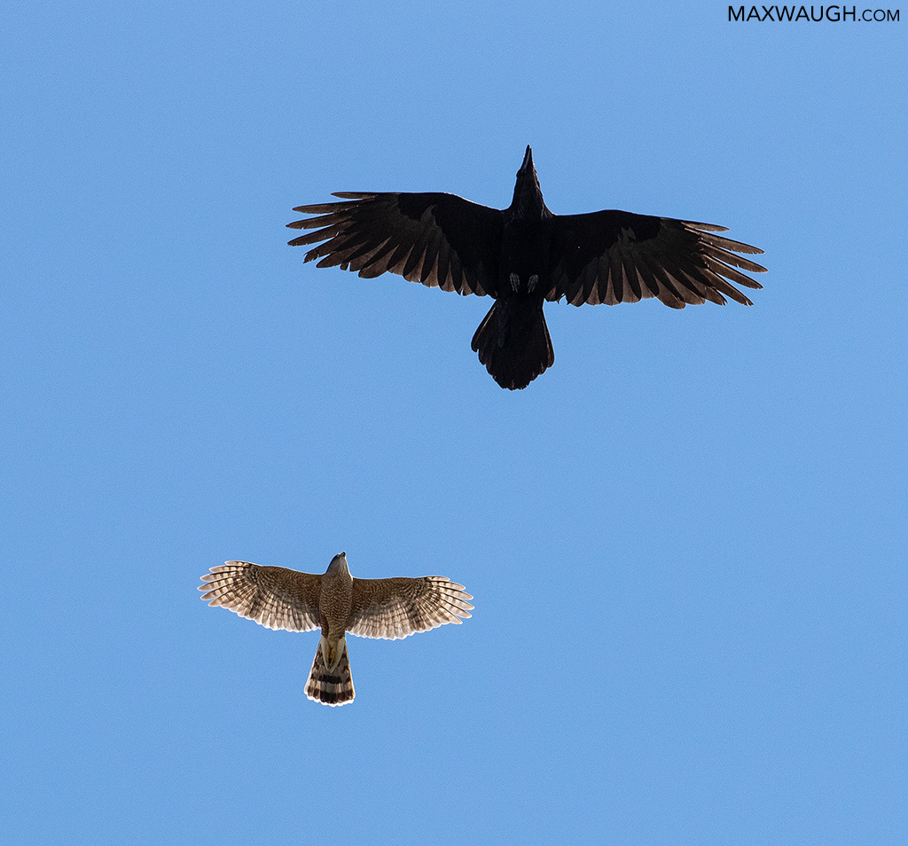 Cooper's Hawk and Common Raven
