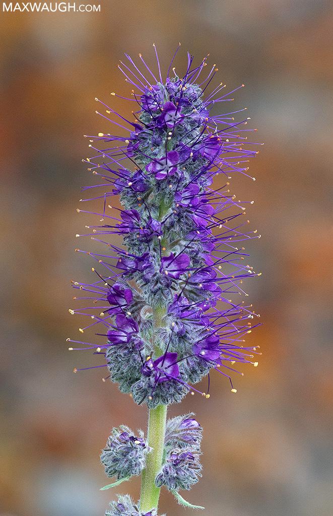 Purple-fringe flower