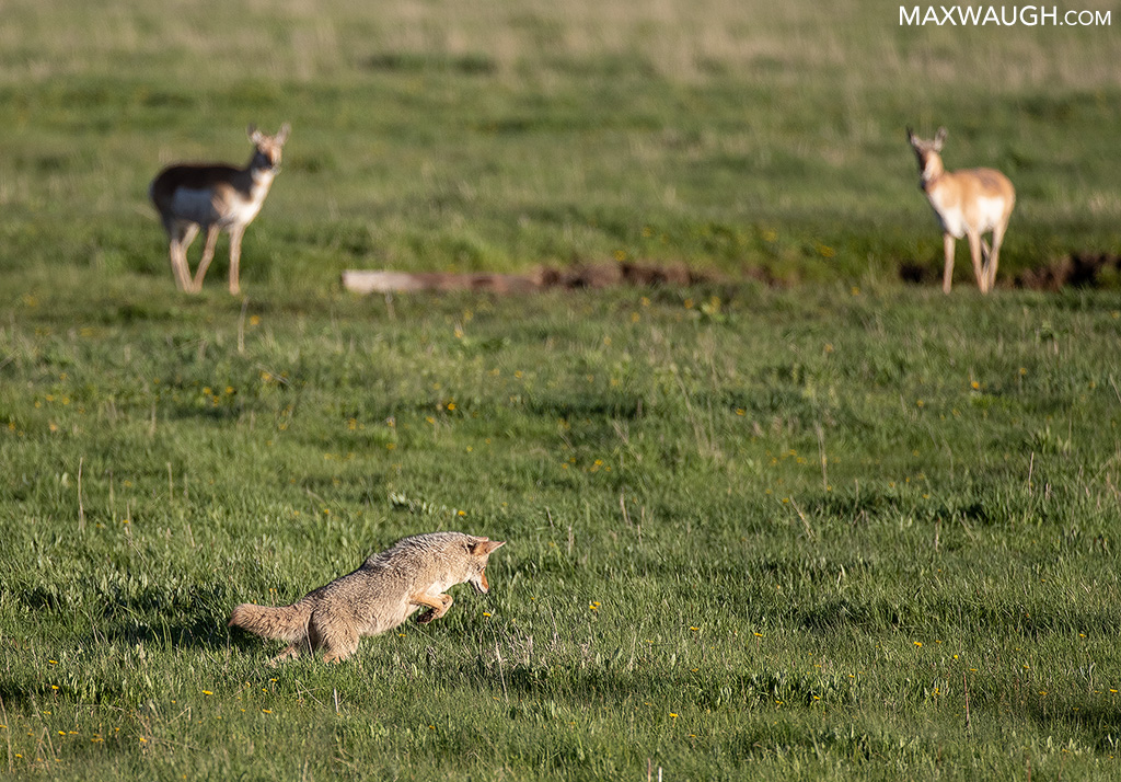 Coyote and Pronghorns