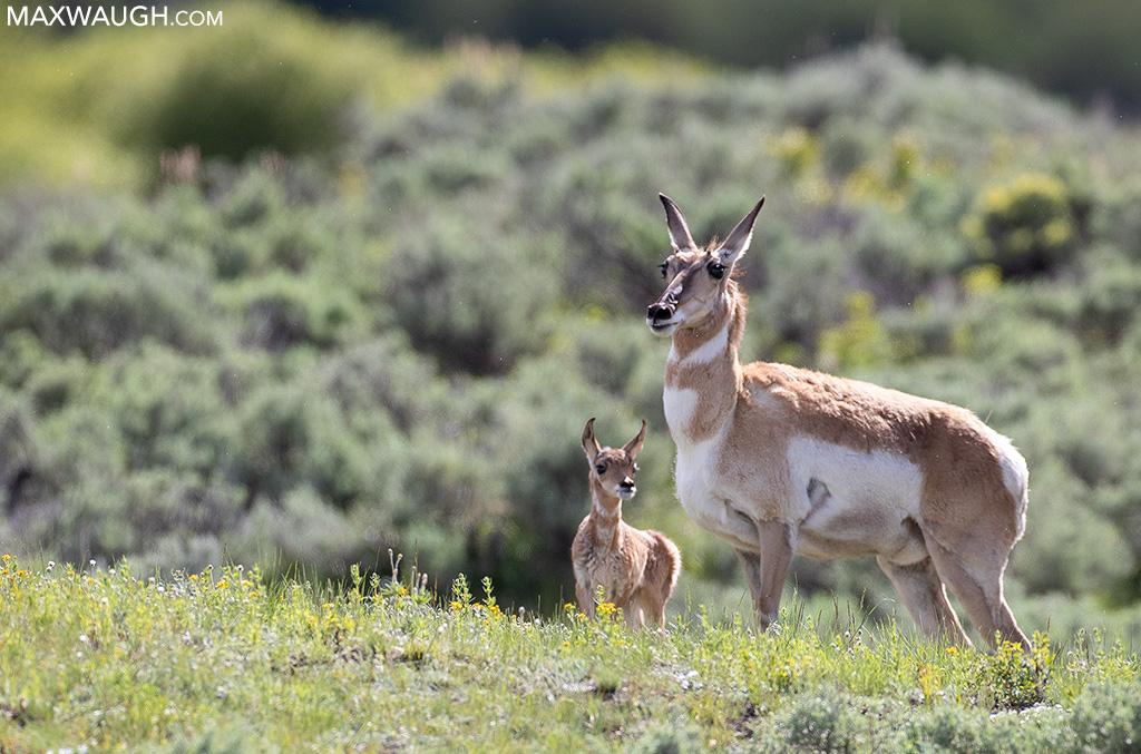 Pronghorn and fawn