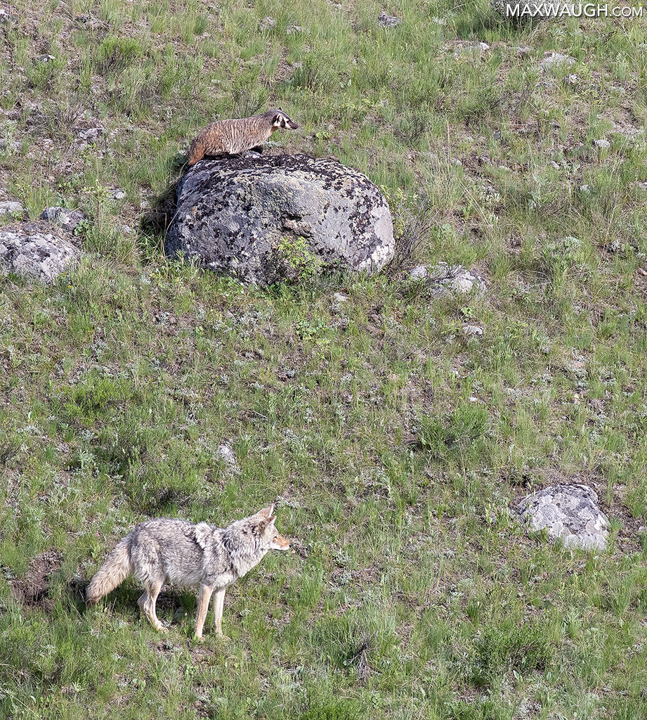 Coyote and Badger Hunt
