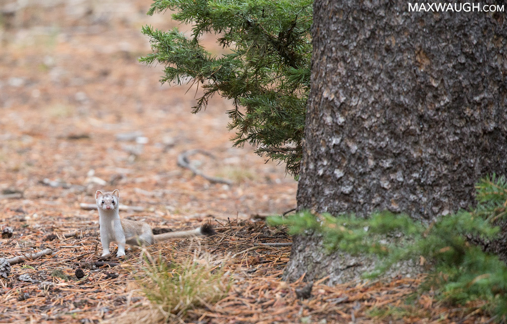 Long-tailed weasel