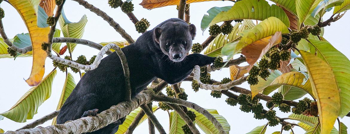 Wildlife Photographer of the Year: Highly Commended (Tayra)