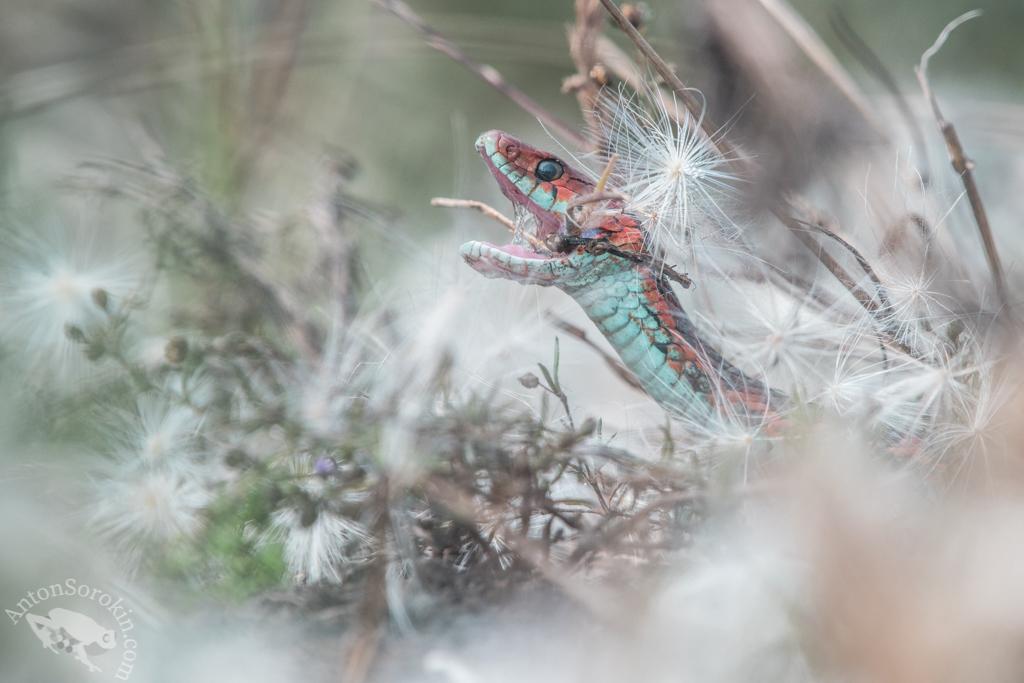 Garter Snake by Anton Sorokin
