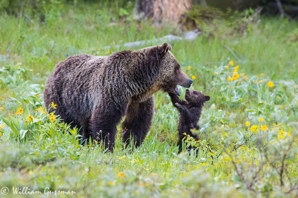 Grizzly Bears by Bill Gussman