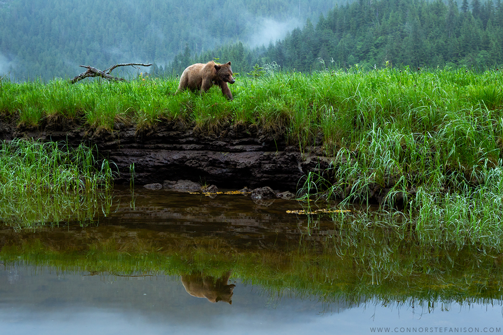 Grizzly bear by Connor Stefanison